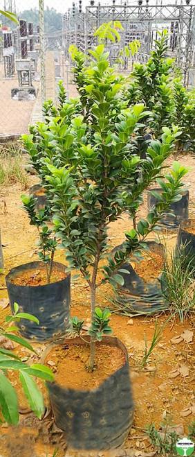 Ficus crassifolia