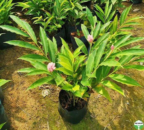 Alpinia purpurata 'Jungle Queen'