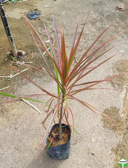 Dracaena reflexa var. angustifolia 'Colorama'