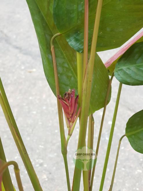 Marantochloa mannii