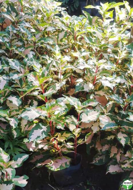 Graptophyllum pictum 'Tricolor'