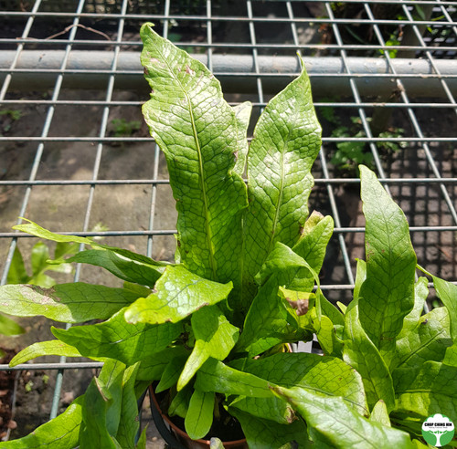 Tectaria singaporiana
