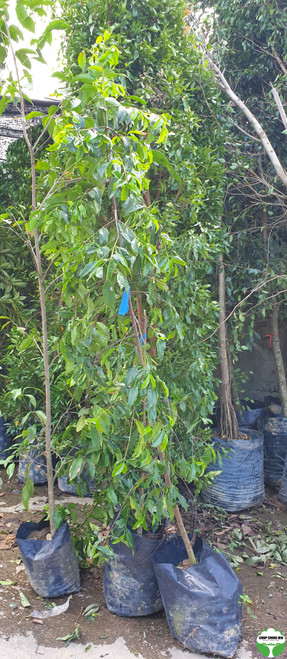 Carallia brachiata