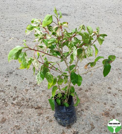 Hibiscus rosa-sinensis 'Cooperi Alba'