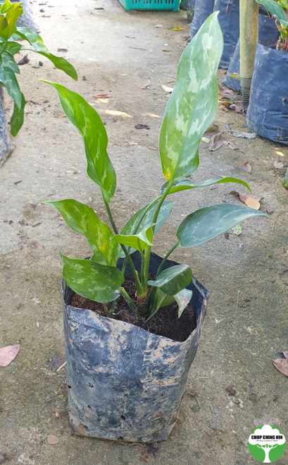Aglaonema commutatum (form with slight silver/grey variegation)