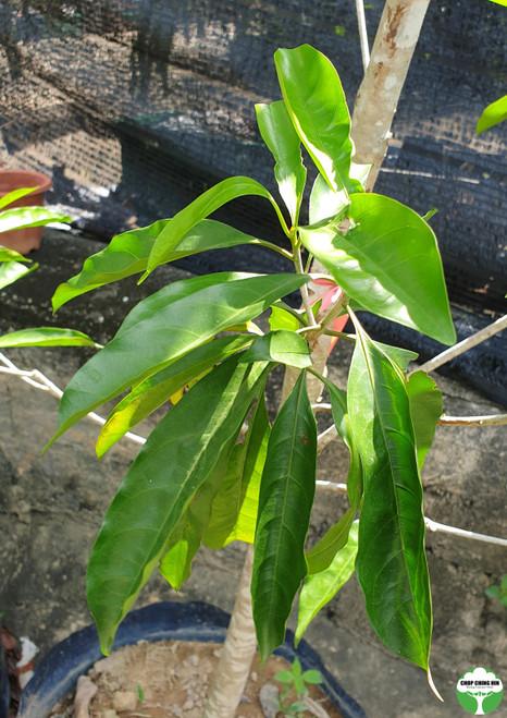 Pteleocarpa lamponga