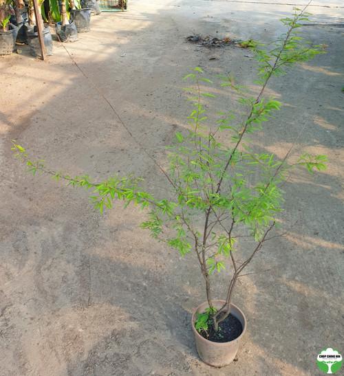 Mimosa diplotricha var. inermis
