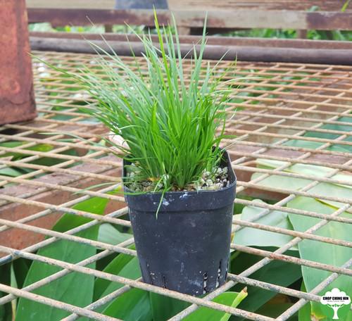 Acorus green