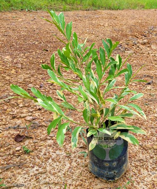 Suregada multiflora (variegated)