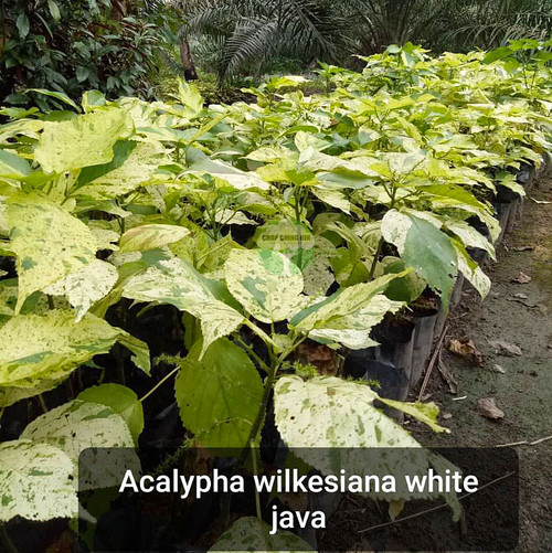 Acalypha wilkesiana 'Java White'