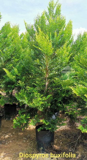 Diospyros buxifolia