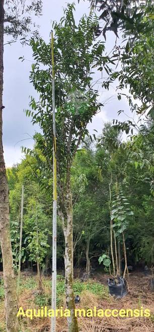 Aquilaria malaccensis