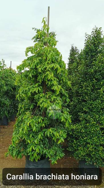 Carallia brachiata 'Honiara'