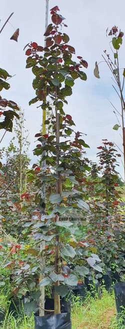 Hibiscus tiliaceus 'Purpurascens'