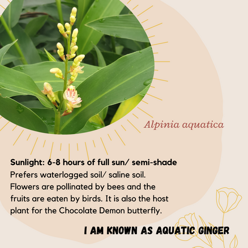 Properties - Alpinia aquatica