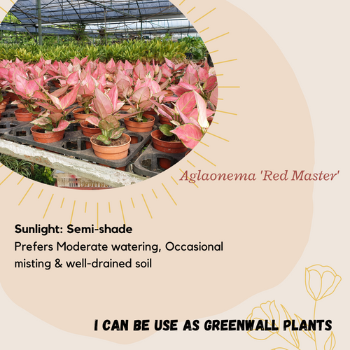 Properties -  Aglaonema 'Red Master'