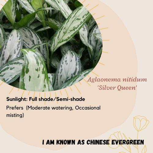 Properties - Aglaonema nitidum 'Silver Queen'