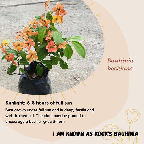 Properties - Bauhinia kockiana