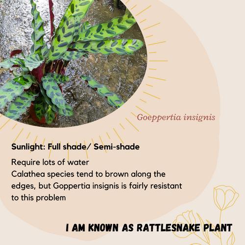 Properties - Goeppertia lancifolia