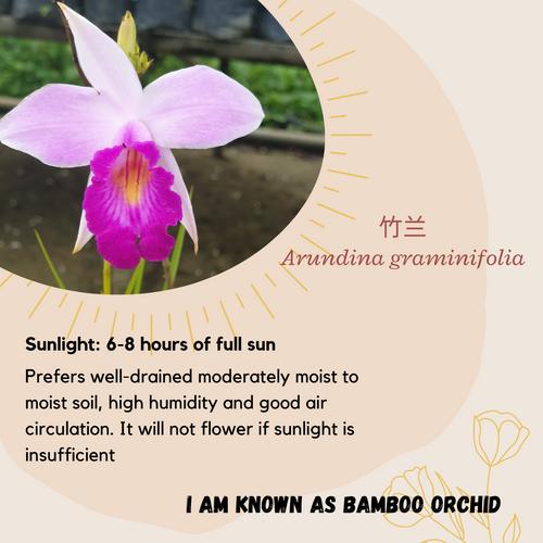 Properties - Arundina graminifolia