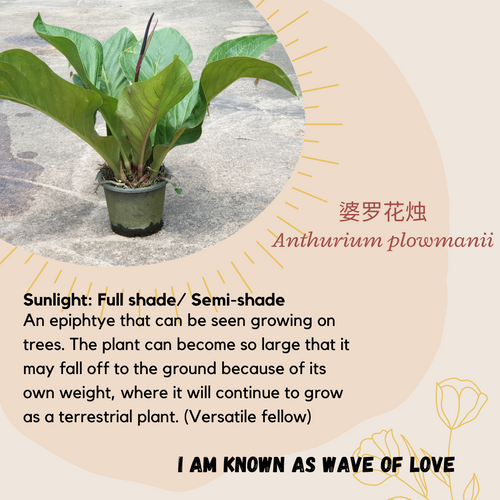 Properties - Anthurium plowmanii