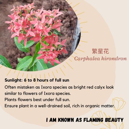 Properties - Carphalea kirondron