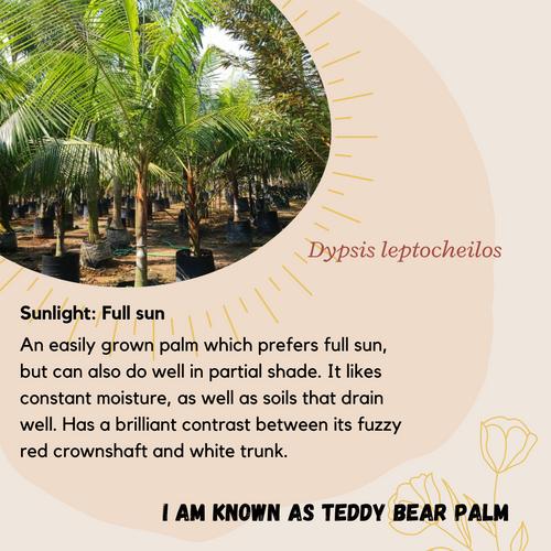 Properties - Dypsis leptocheilos
