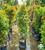 Syzygium myrtifolia 2.0MOH