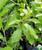 Vernonia elliptica