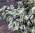 Ficus benjamina 'Variegated White'