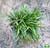 Ophiopogon japonicus 'Kyoto Dwarf'