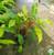 Heliconia 'Dwarf Jamaican'