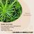 Properties - Cyperus alternifolius