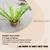 Properties - Asplenium nidus