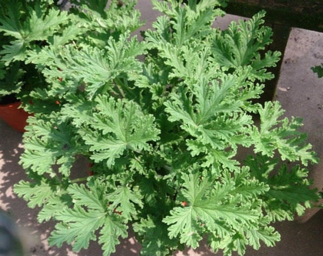 Citronella Mosquito Plant Pelargonium Citrosum 4 Pot The