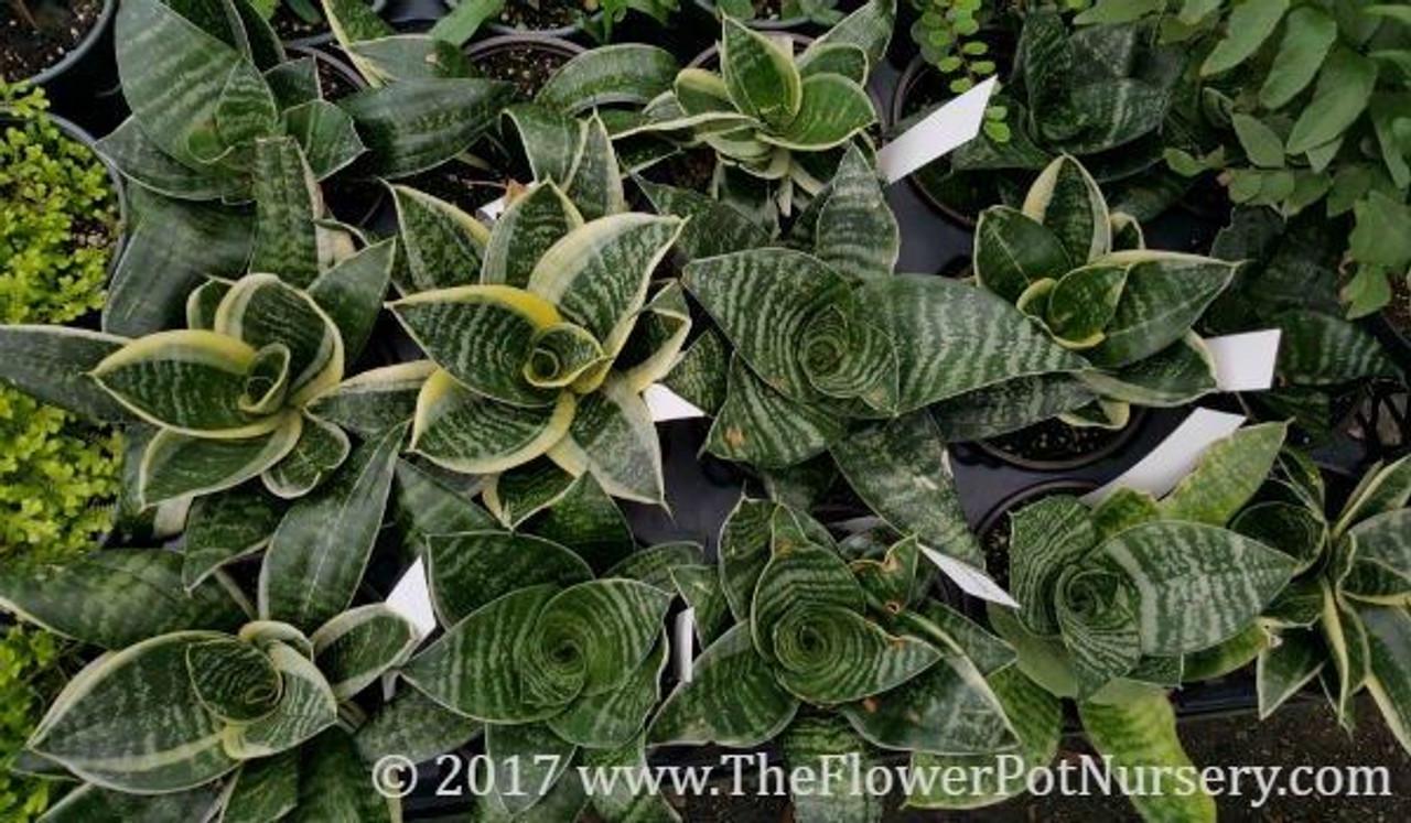 Sansevieria Plant Feng Shui variegated sansevieria - sansevieria trifasciata 'golden hahnii' - birds  nest sa