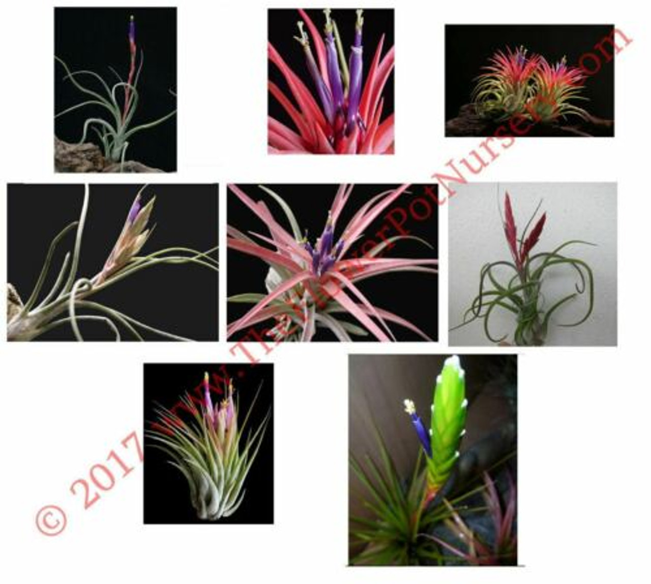 Lot Of 10 Air Plants Tillandsia Spp Medium Premium Assorted