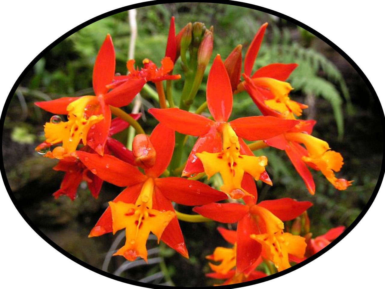 Details about  /ORCHID EPIDIDRIM RATICANS  ORANGE  PLANT 226