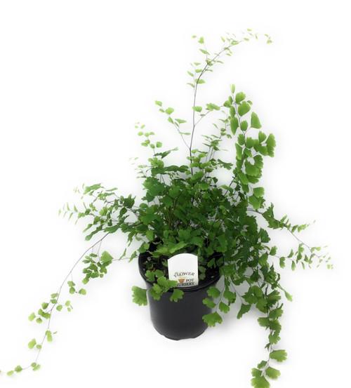 "FlowerPotNursery Mairis's Hardy Maidenhair Adiantum sp. Mairisii 4"" Pot"