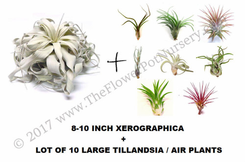 Large 8-10 inch Xerographica and 10 Large Premium assorted Airplants Air Plants