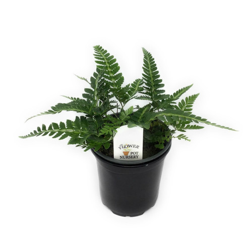 "FlowerPotNursery East Indian Holly Fern Arachniodes simplicior Variegata 4"" Pot"