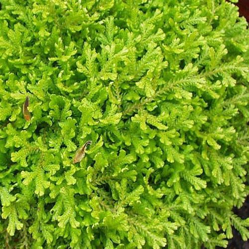 """Golden Spikemoss -Selaginella kraussiana 'Aurea'  - 4"""" Pot"""