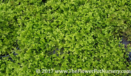 "Gold Tip Spikemoss -Selaginella kraussiana 'Gold Tips'  - 4"" Pot - Fairy Garden"