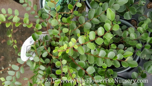 "Button Fern - Pellaea rotundifolia - 4"" Pot"