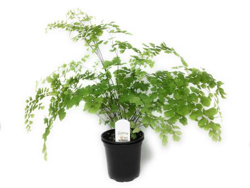 "FlowerPotNursery Fragrant Maidenhair Fern Adiantum raddianum Fragrantiss. 4"" Pot"