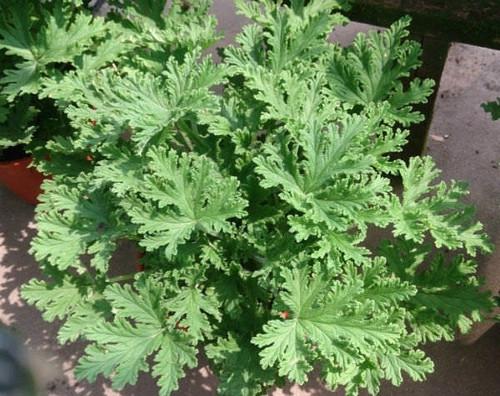 """Citronella Mosquito Plant - Pelargonium citrosum - 4"""" Pot"""