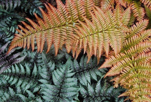"Autumn Fern Brilliance - Dryopteris erythrosora 'Brilliance' - 4"" Pot"