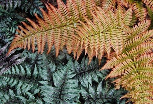 "Autumn Fern Brilliance - Dryopteris erythrosora 'Brilliance' - 4"" Pot"