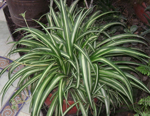 "Spider Plant / Airplane Plant - Chlorophytum comosum- 4"" Pot 2 Cultivars"