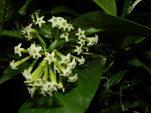 5 Night Blooming Jasmine - Cestrum nocturnum - plugs / cuttings / transplants